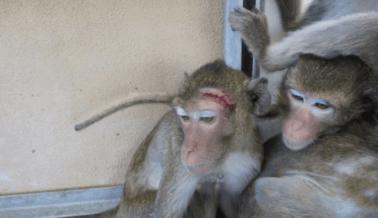 PETA Critica a Experimentadores que Dejaron Esponja Quirúrgica Dentro de un Mono ¡Por 4 Meses!