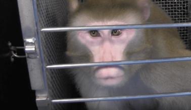 Una Vida de Dolor y Sufrimiento: Conoce a Beamish, un Mono Prisionero en los NIH