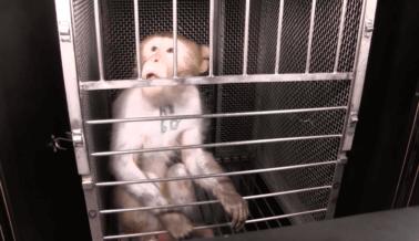 Animadores de Elisabeth Murray Celebran sus Crueles Experimentos en Monos