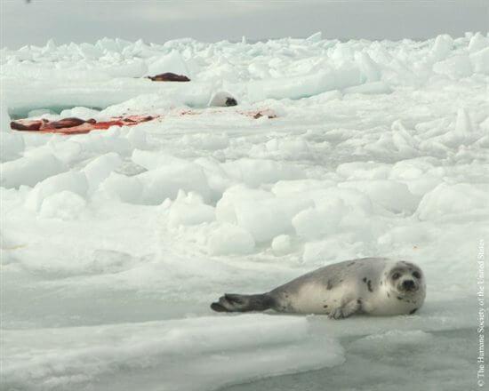 Seal-Slaugher-13