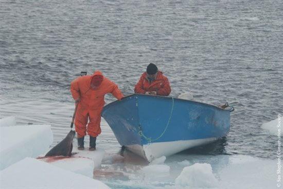 Seal-Slaugher-14