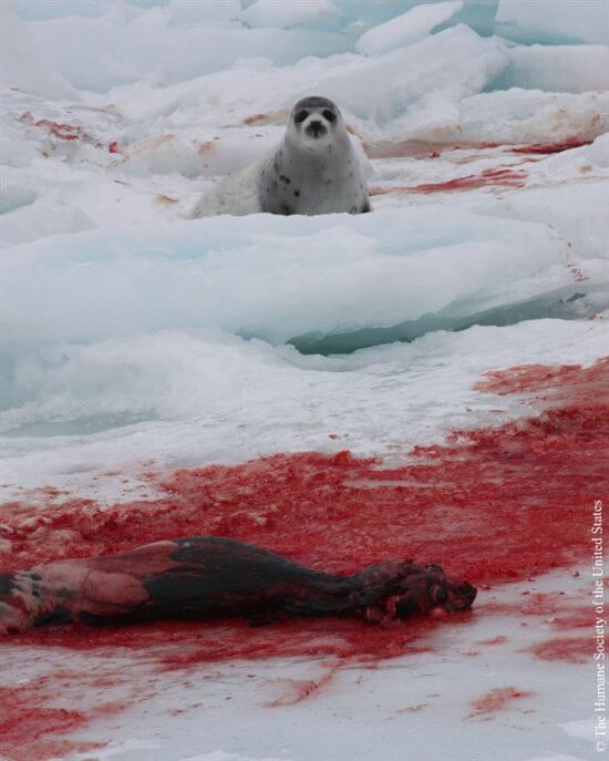 Seal-Slaughter-6