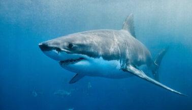 Gran tiburón blanco muere después de estar solo tres días en un acuario