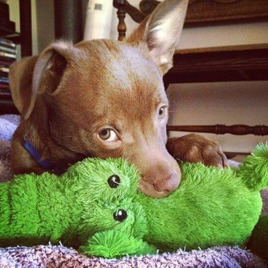 Simon-the-chihuahua-dog