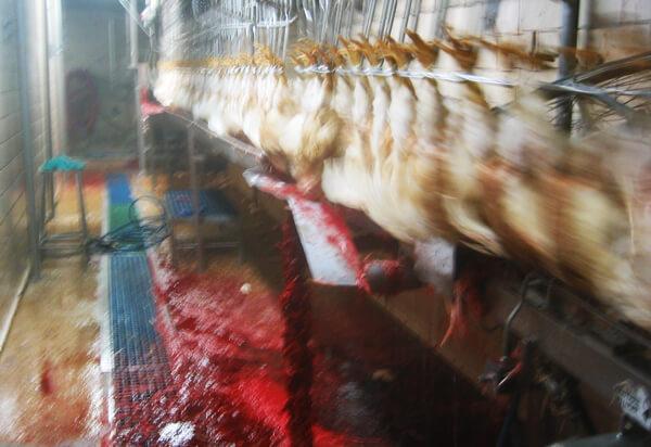 Chicken industry-Slitting-Their-Throats
