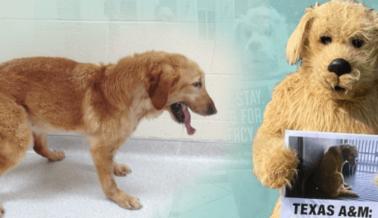 El Laboratorio de Distrofia Muscular Canina de Texas A&M Nuevamente Tergiversa sus Turbias Prácticas