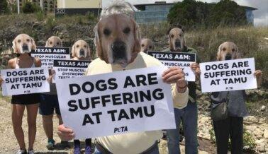 PETA Expone la Muerte de Ned, un Perro en Texas A&M