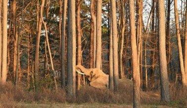 Ahora a Salvo en el Santuario de Elefantes, Nosey Hace Nuevas Amigas Después de Décadas