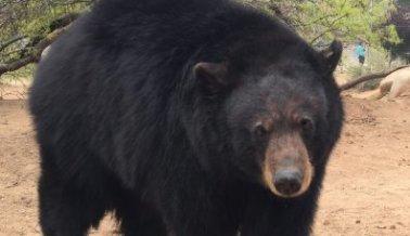 ¡5 osos liberados de espectáculo abusivo! Míralos en su nuevo santuario