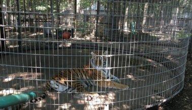 Tigres y leopardos encerrados en jaulas diseñadas para contener vegetales