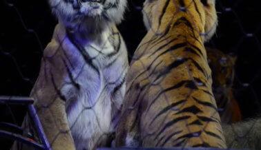 Feld y el gobierno de EE.UU. ligados a disparo fatal a una tigresa en Georgia