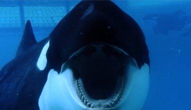 Tilikum, la orca más explotada de SeaWorld, ha muerto
