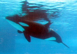 Experts Challenge SeaWorld's Continued Orca Captivity