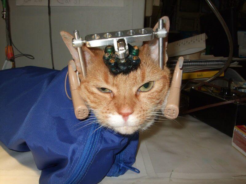 ¿Que piensas sobre la utilización de animales para experimentos? - Página 2 UW-Madison-Cat