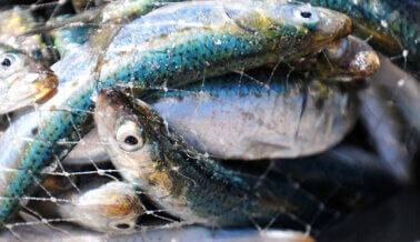 ¡Insta a Long John Silver's y Captain D's a que Vendan Pescado Vegano!