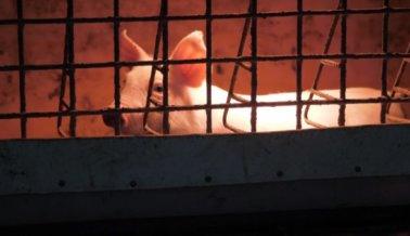 Muerte y Miseria en Cerdos Enjaulados en Sucia Fábrica Canadiense