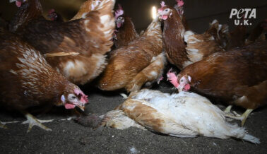 Dejan Pudrir a las Gallinas en Granjas Proveedoras de Happy Egg Co.: una Investigación de PETA UK