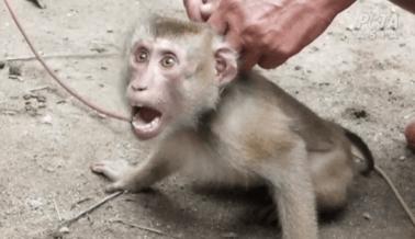 Monos Encadenados y Maltratados por Leche de Coco: Una Investigación de PETA Asia