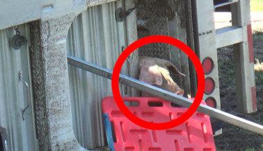 MIRA: Cientos de Cerdos Atrapados en un Camión Volcado Tras un Choque