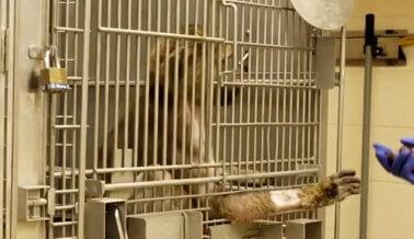 Informante: Personal de Laboratorio de Universidad de Alabama Puso 'Woolite' en Herida Quirúrgica de Babuino