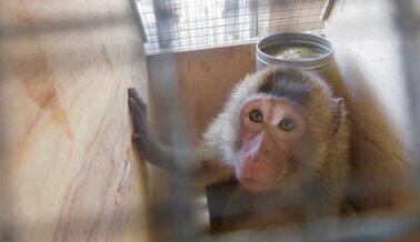 PETA a Volga-Dnepr Air: No Sean Cómplices de los Crueles Experimentos en Monos