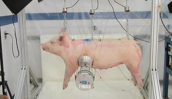 Ford Mete Marcha Atrás, Financia Prueba de Choque con Cerdos a Pesar de sus Declaraciones, Actúa