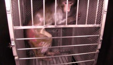 VIDEO EXCLUSIVO DE PETA: Experimentadores del gobierno aterrorizan a monos con serpientes