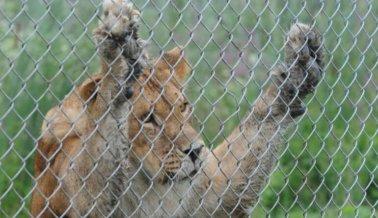 León matado de un disparo por comportarse como un animal salvaje