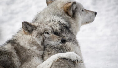 Residentes de EE.UU.: ¡Digan al Congreso que los Lobos Grises Necesitan Protección Federal!