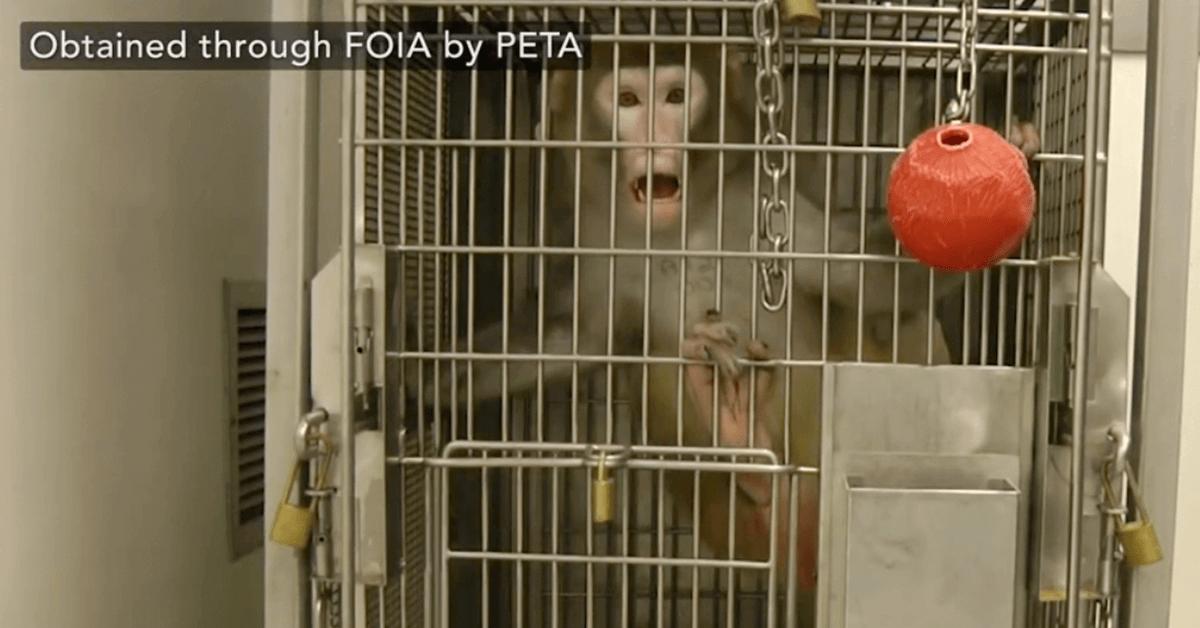 Mono enjaulado en laboratorio