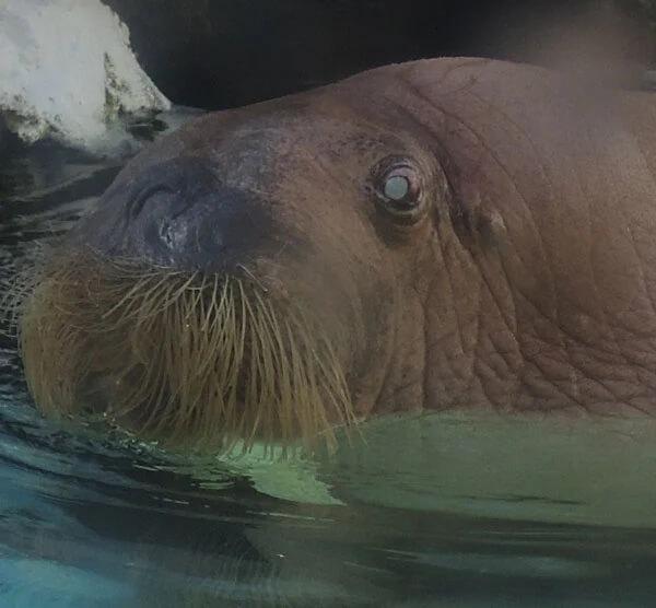 Walrus in captivity at Seaworld