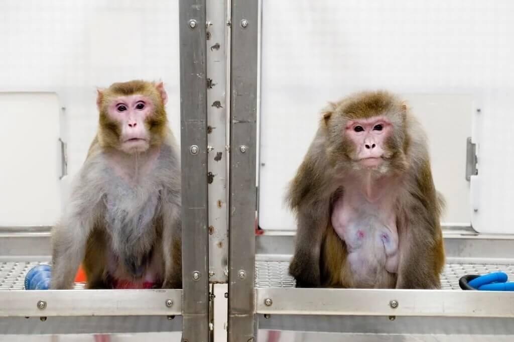 monos enjaulados en laboratorio de experimentos Wisconsin National Primate