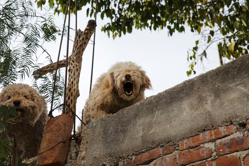 Dogs on a roof, barking