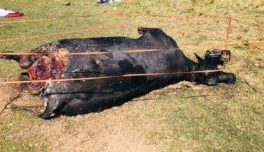 Informante Rompe el Silencio Sobre Vacas Muertas Utilizadas en la Serie 'Yellowstone'