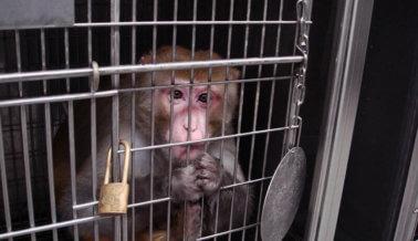¡VICTORIA! Luego campaña de PETA, AirBridgeCargo prohíbe el transporte de monos a laboratorios