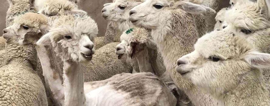 Animales Esquilados Violentamente por Vanidad, ¡Exígele a American Eagle que Deje de Vender Alpaca!
