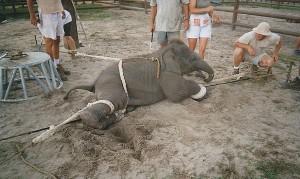 baby-elephant-traning
