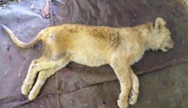 Animales Paralizados y Cachorros en un Congelador en un Rancho con Grandes Felinos Cautivos