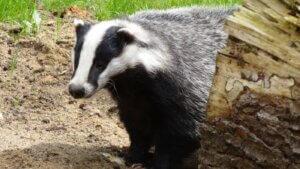 Badger en la naturaleza