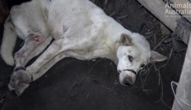 Carne de perro vendida como 'pollo' a turistas en Bali
