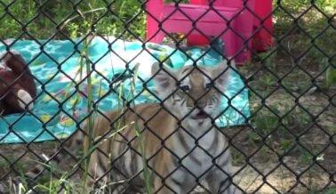 En Virginia se Aprueba una Ley que Pone Fin a las Interacciones con Tigres Bebé