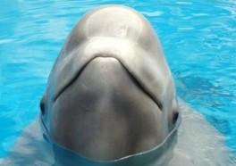 ¡Victoria! Denegada la solicitud del Acuario de Georgia para importar belugas