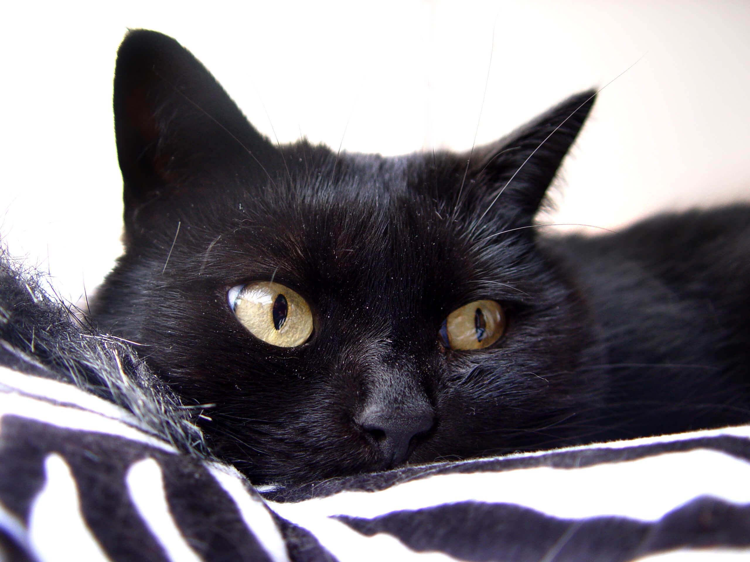 black cat 107705
