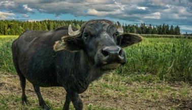 Búfalas de Agua Atadas a Postes y Golpeadas por Mozzarella
