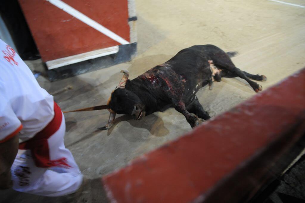 bull-dragged