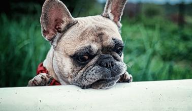 """¿Los Bulldogs Franceses Son Buenas """"Mascotas""""? PETA Explica Por Qué Nunca Deberías Comprar Uno"""