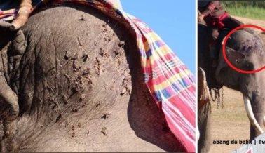 Piel Desgarrada y Heridas Ensangrentadas en Elefantes Usados para Paseos