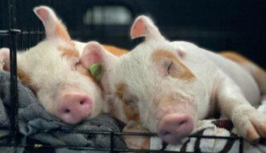 DE ÚLTIMA HORA: Cerdos Rescatados de la Muerte en Honor de la Activista Regan Russell