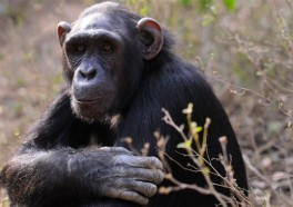 Hundreds of Chimpanzees to Be Retired From Laboratories