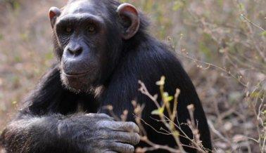 Cientos de chimpancés serán retirados de laboratorios